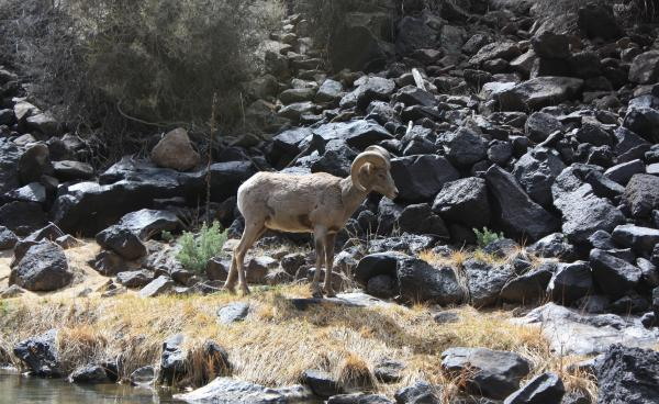 Bighorn Sheep on the Rio Grande
